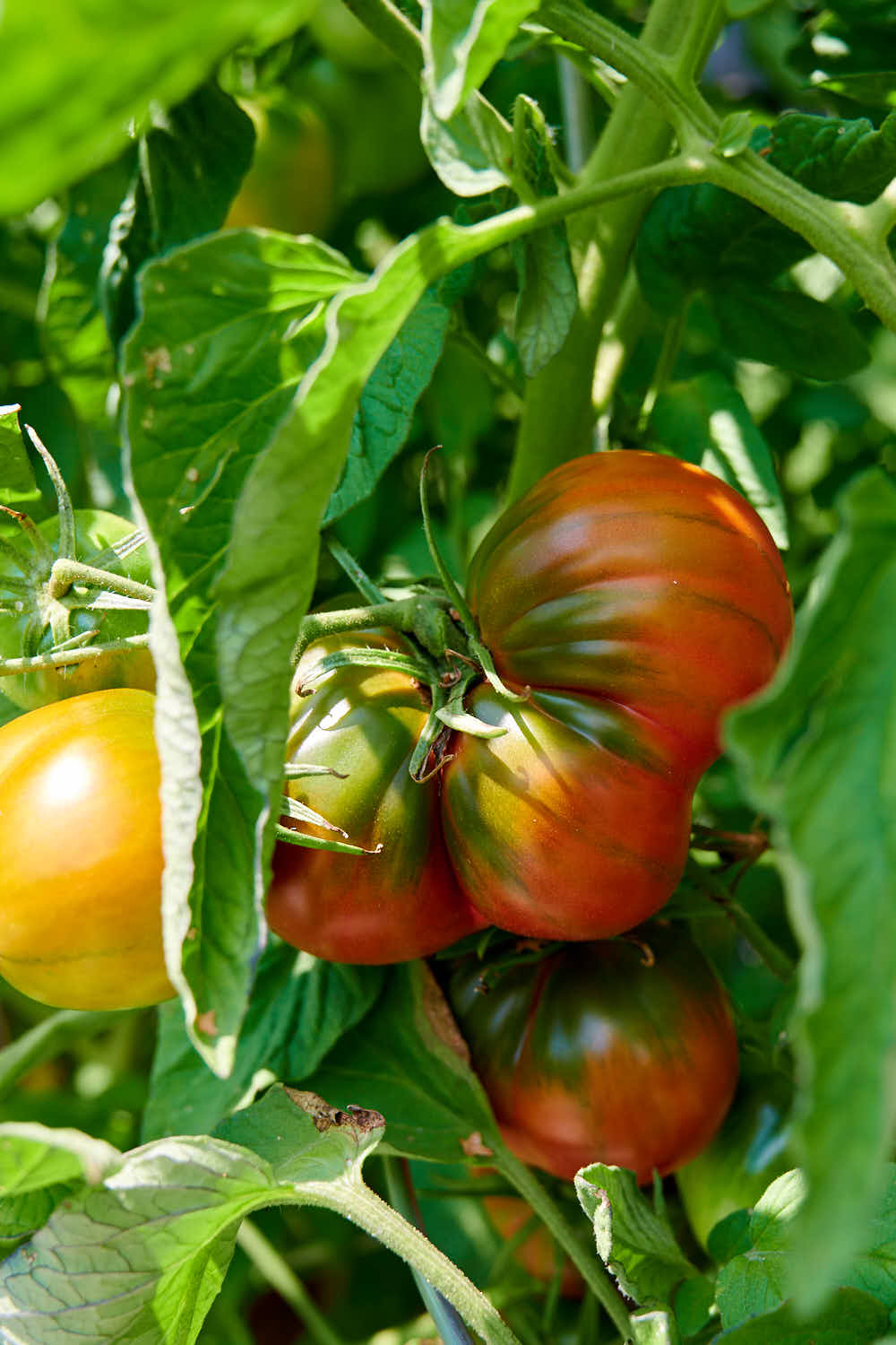 Indian Stripe tomatoes growing on the vine.